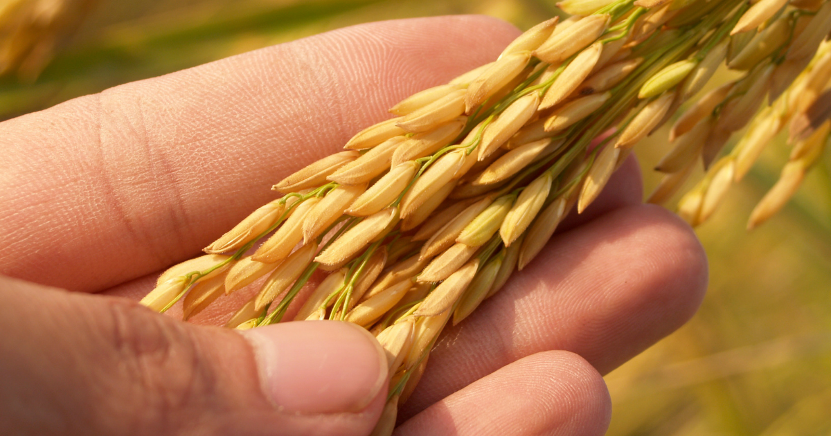 Descubre cereales sin gluten